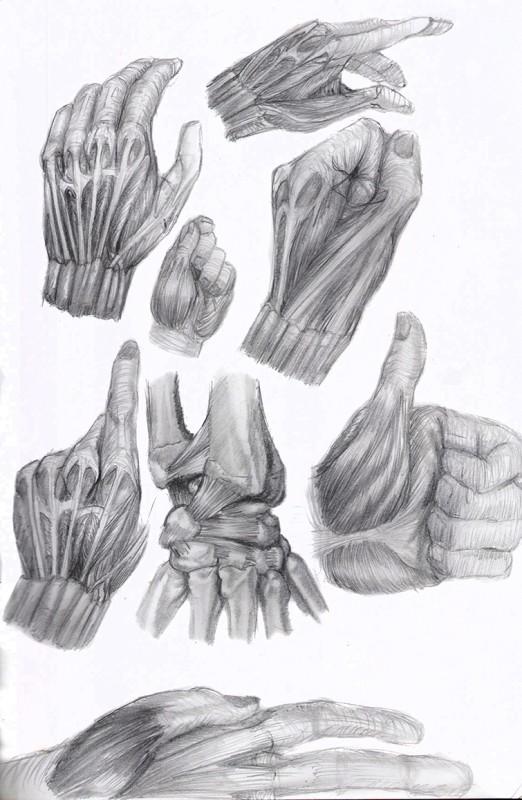 étude anatomique main
