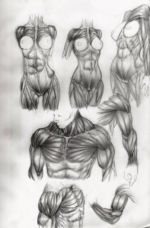 etude anatomie muscle 2