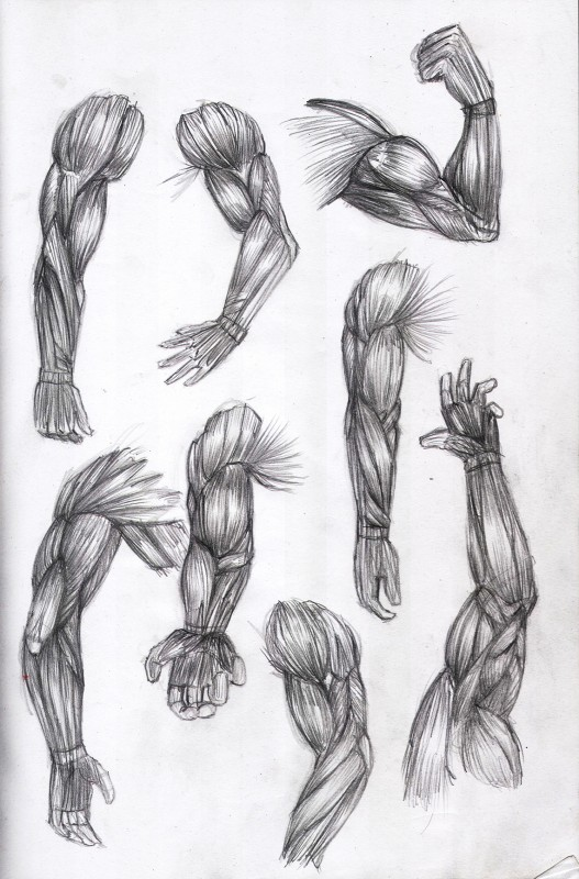 etude anatomie muscle 3
