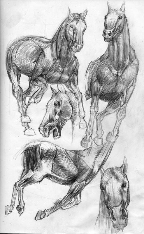 etude anatomie muscle 5
