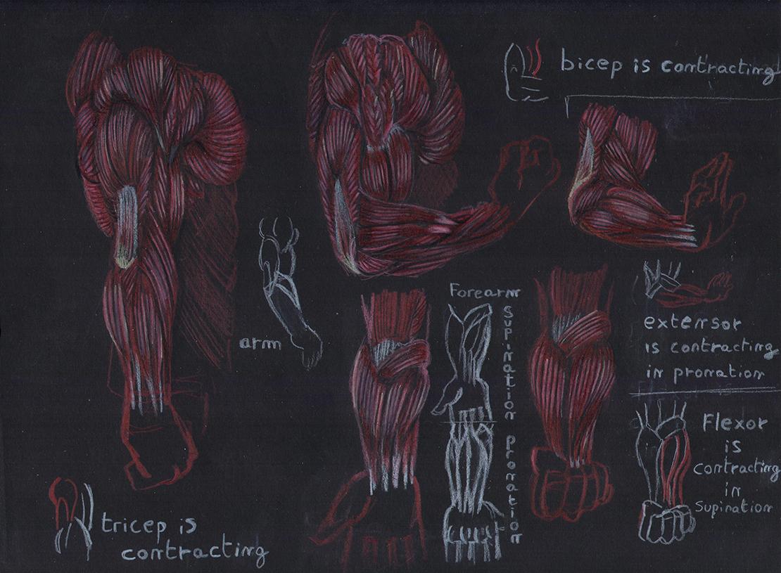 Illustrateur à Lyon, crayon de couleurs, croquis anatomie
