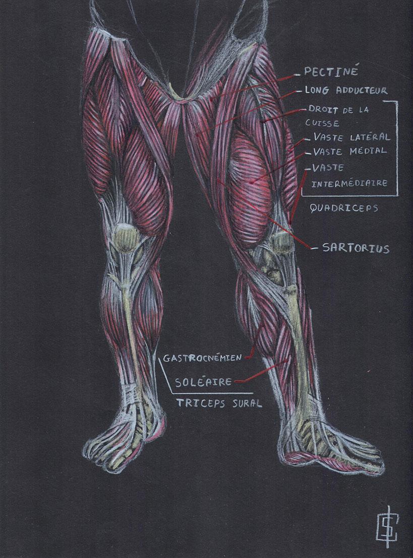 Croquis, étude musculaire